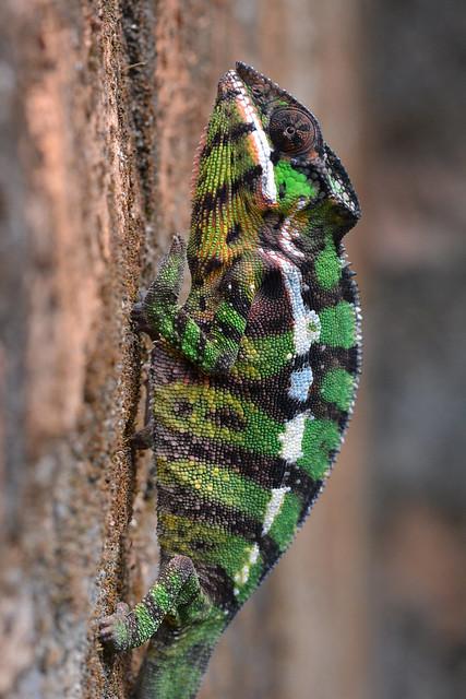 Panther chameleon - Furcifer pardalis