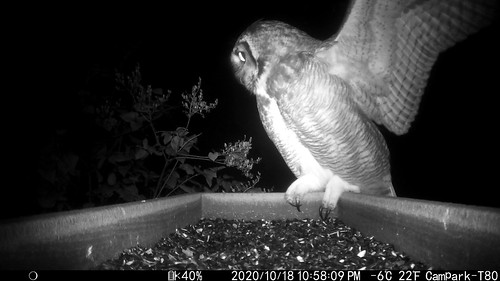 Great Horned Owl on my trail cam