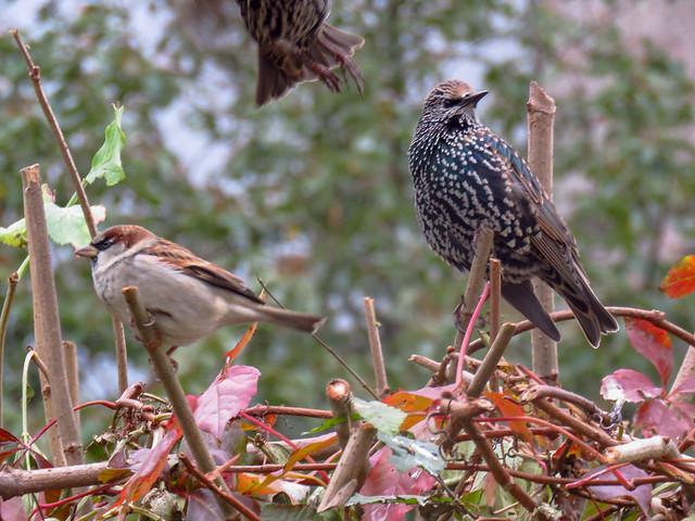 House Sparrow & Starling/ Hausspatz & Star