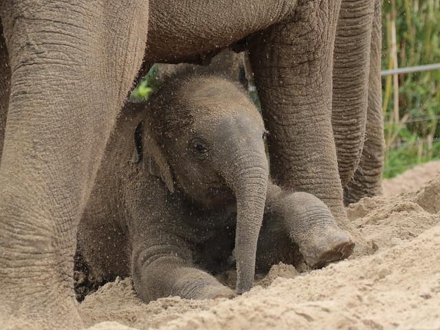 asiatic elephant Vinh Artis 094A1019