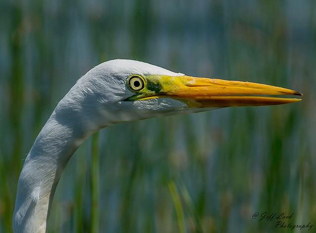 DSC6534b  Great White Egret..