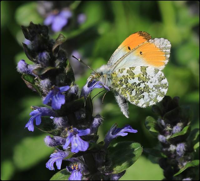 Male Orange-tip nectaring on Bugle