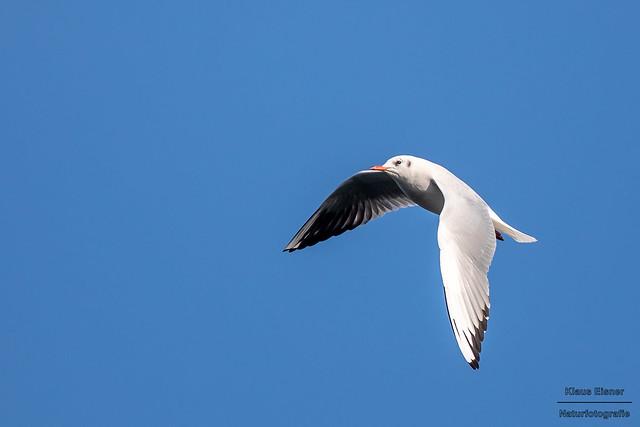 Lachmöwe / Black-headed gull