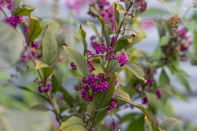 Beautyberry 💜 bush