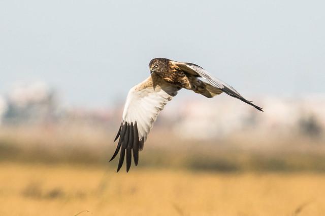 Águia-sapeira / Western Marsh Harrier (Circus aeruginosus)
