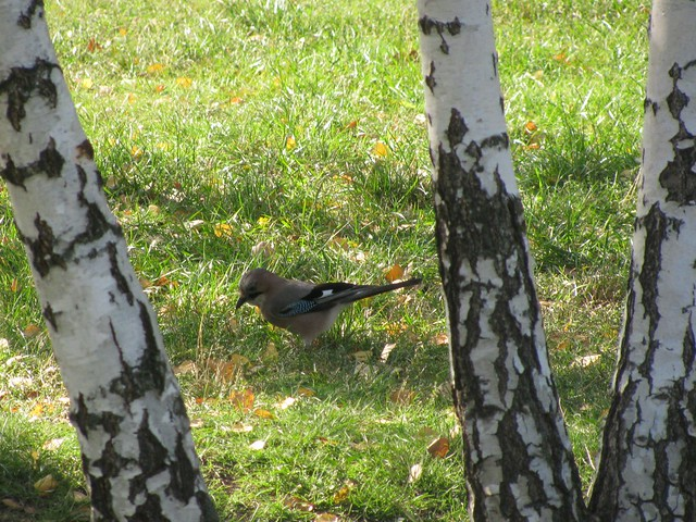 Eurasian jay in the autumn park