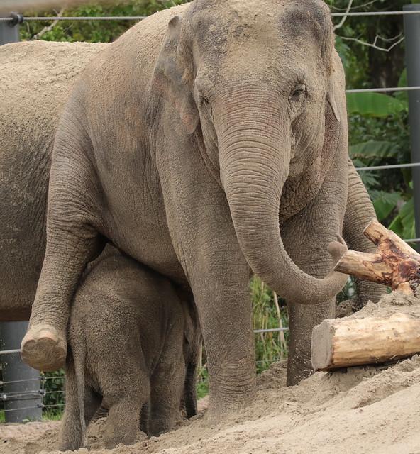 asiatic elephant Thong Tai Artis 094A1013