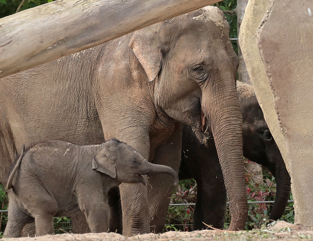 asiatic elephant Vinh Artis 094A0773