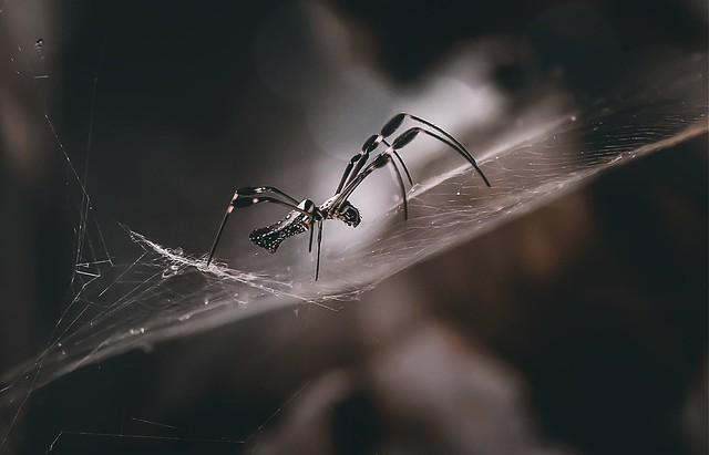 Spider Golden Orb-weaver
