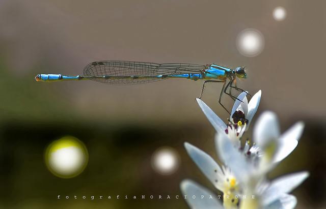 - LIBELULA ( dragonfly ) EN FLOR ACUATICA.. ( Espino de agua ) (Aponogeton distachyos) toma en BOTANICO THAYS.!