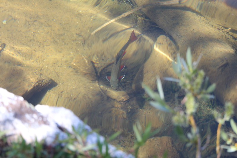 Close-up of a trout swimming along the southern shore of Black Lake