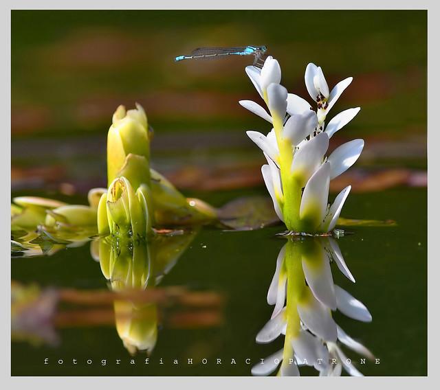 - FLOR ACUATICA..Flowers & Reflections ( Espino de agua ) (Aponogeton distachyos) toma en BOTANICO THAYS.!