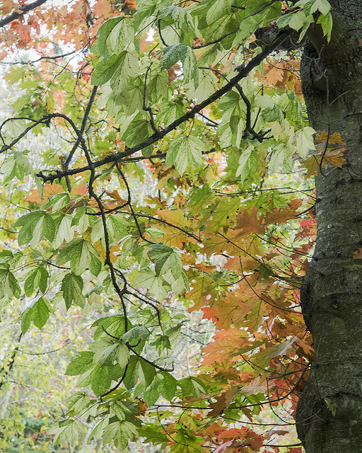 Quercusruba 'Aurea' golden red oak, Darts Hill