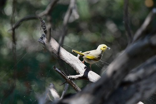 White-plumed Honeyeater ( and working hard ) | by friendsintheair