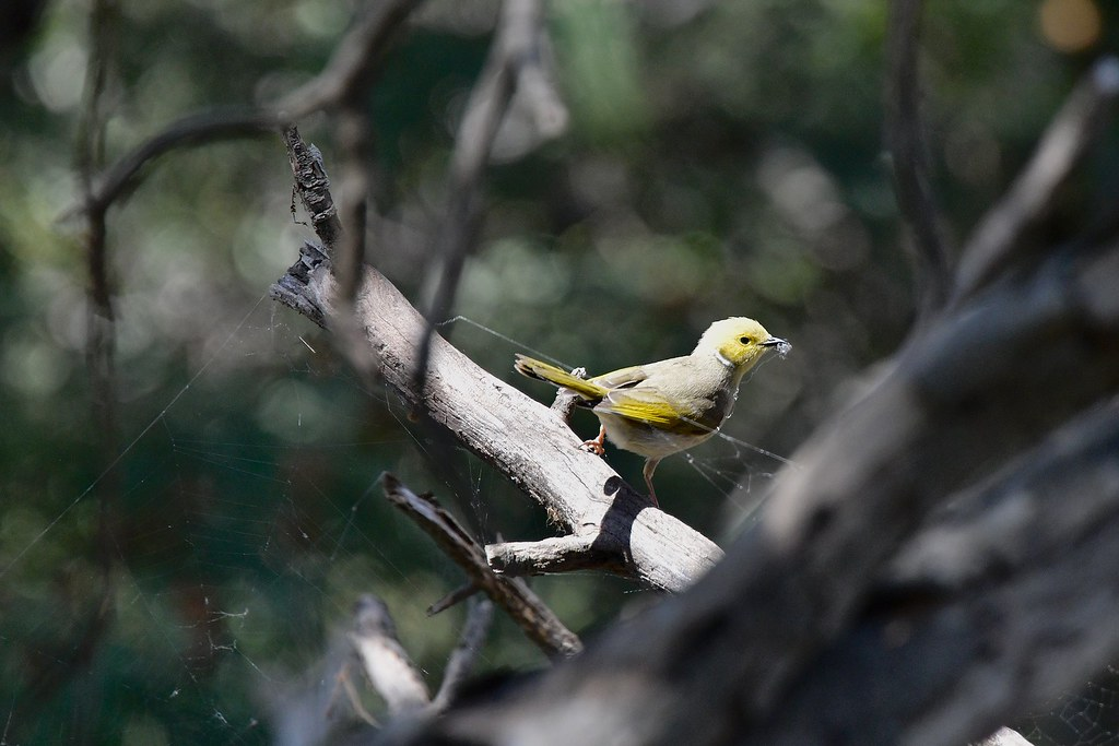 White-plumed Honeyeater ( and working hard )