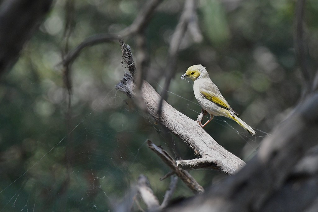 White-plumed Honeyeater ( it is a busy time )