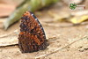 The Dried-leaf Palmfly - ผีเสื้อหนอนมะพร้าวทางแห้ง