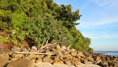 Nyireh laut (Xylocarpus rumphii)