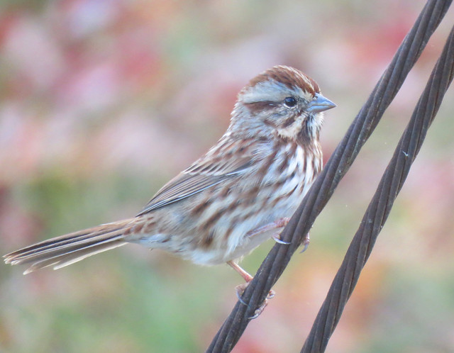 song sparrow posing on wire