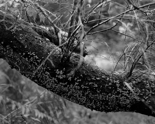 Hyons Wood. Walker Titan SF with Rodenstock 150mm, Ilford Ortho+ in HC110