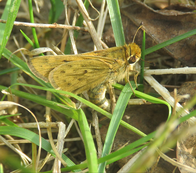 skipper laying eggs in grass