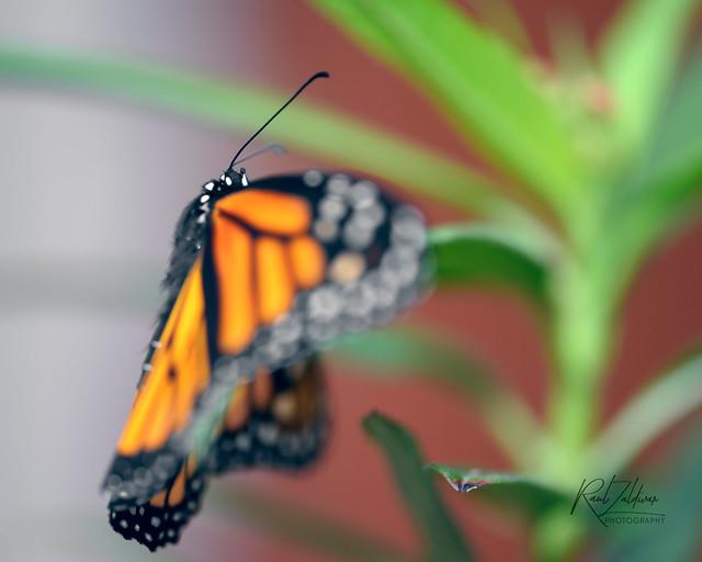 Peekaboo!! Monarch#37