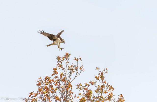 Autumn osprey - Mt. Loretto Unique Area, Staten Island, New York