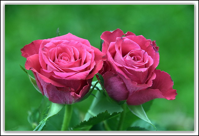 Flower Of The Day - Pink Roses