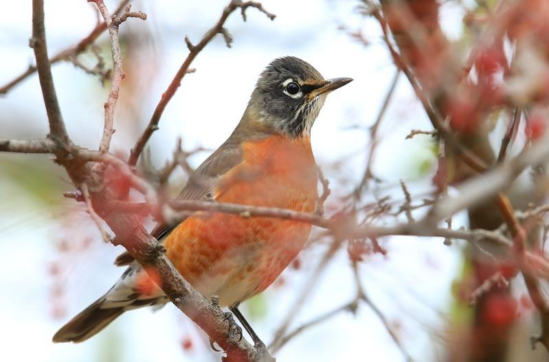 American robin at Lake Meyer Park IA 653A5214