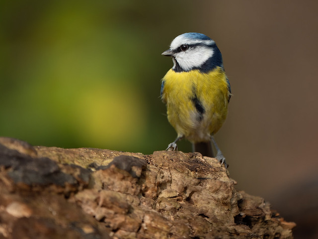 Blue Tit in Autumn