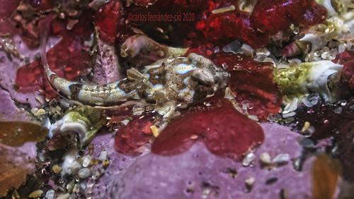 Callionymus reticulatus, juvenil