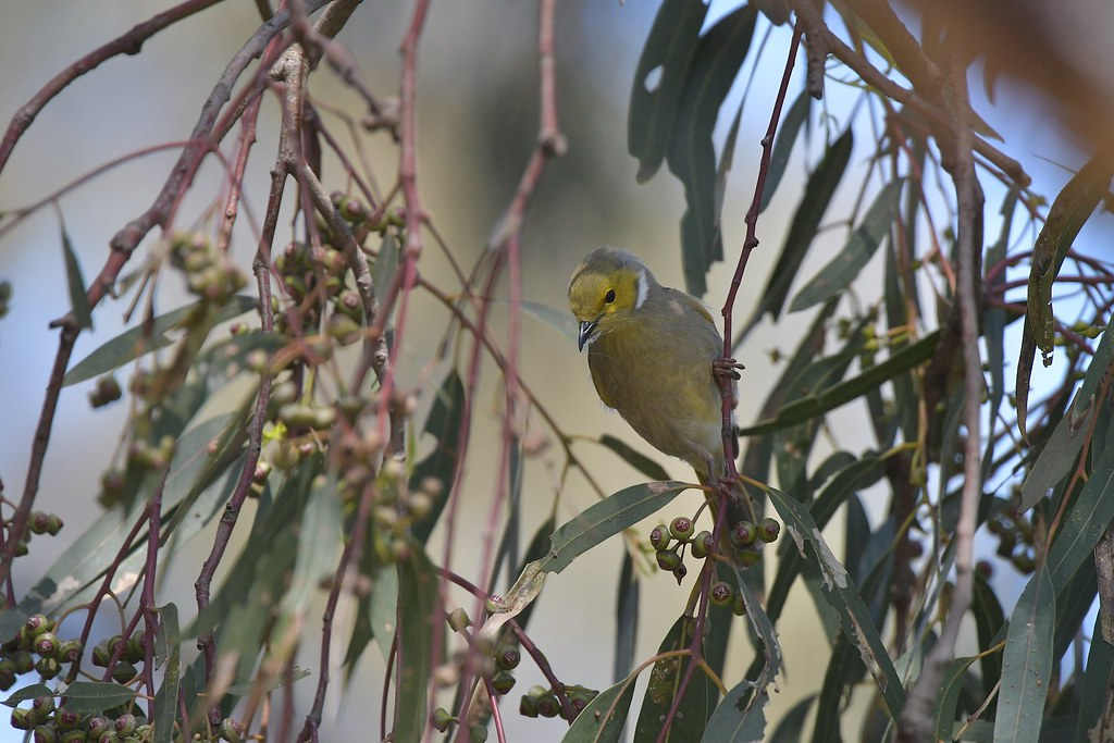 White-plumed Honeyeater ( now some how she makes a nest )