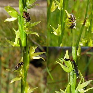 Swamp Leek Orchid - Prasophyllum drummondii