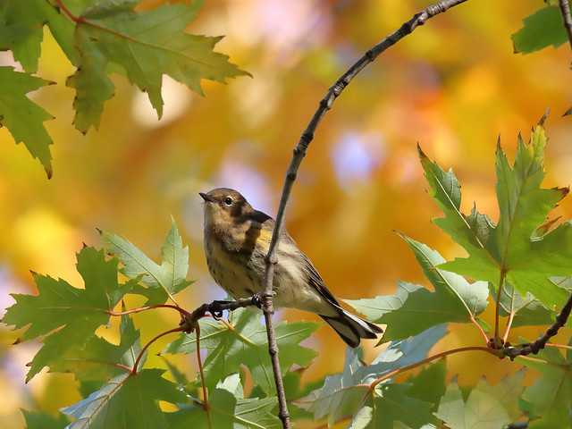 Yellow-rumped Warbler. female.