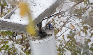 Blue Jay hiding out from the snowstorm | by Laura Erickson