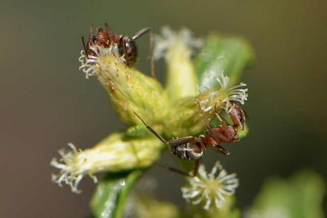 Ants visiting pistillate flowers of Coyote Bush
