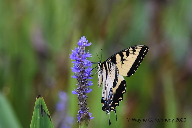 Eastern Tiger Swallowtail getting nectar - side view