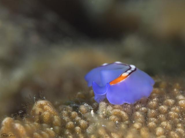 Racing Stripe Flatworm - Pseudoceros bifurcus