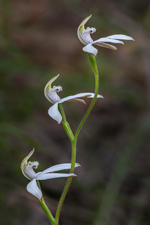 Caladenia moschata (Musky Caps Orchid) - Black Mountain, Canberra
