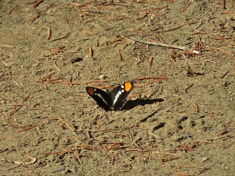 California Sister Butterfly at Natural Bridge