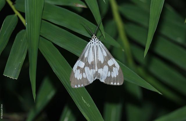 Zygaenid moth from Northern Thailand