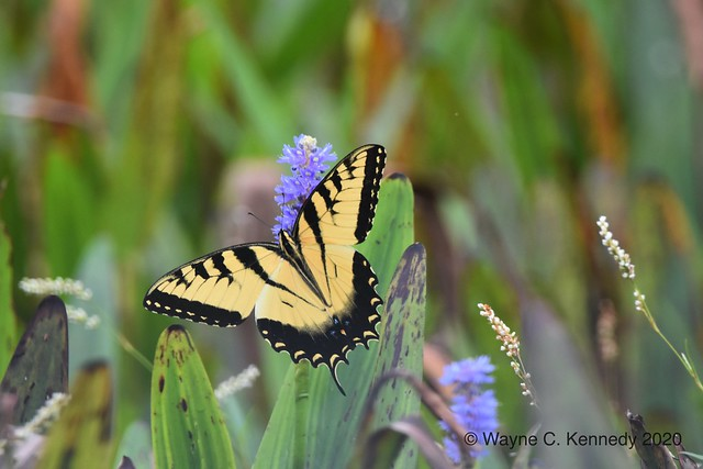 Eastern Tiger Swallowtail on Pickerelweed