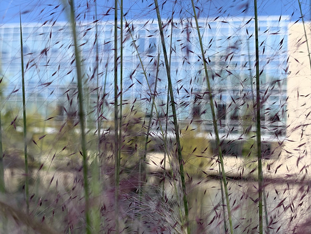 Muhly Grass seeds, office building behind