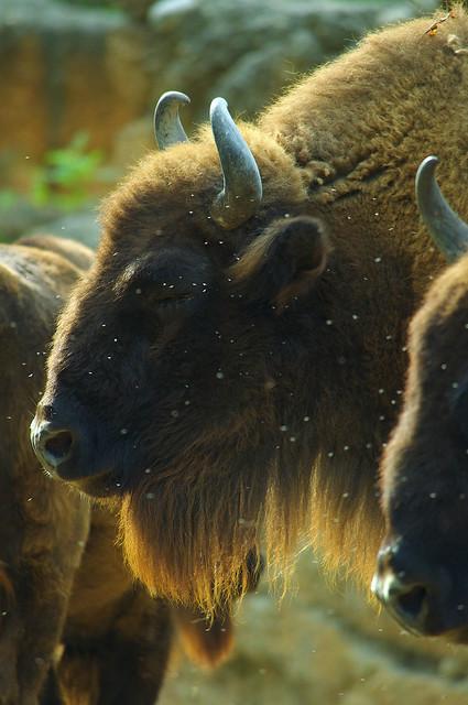 Bison Are Back