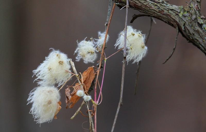 virgin's bower (Clematis virginiana) seed heads at Lake Meyer Park IA 653A5387