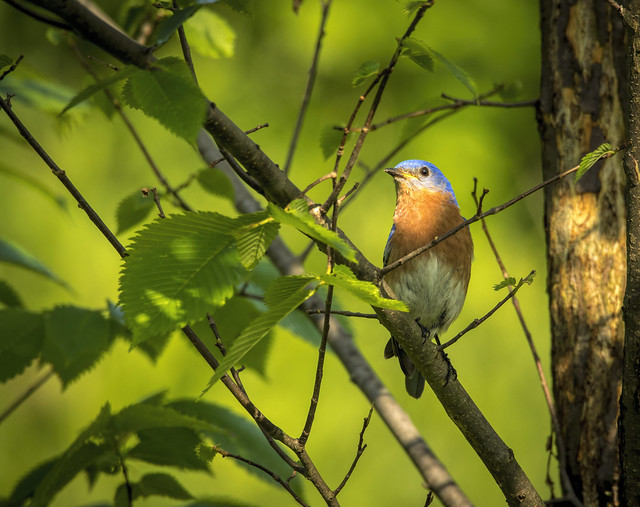 Eastern Bluebird......