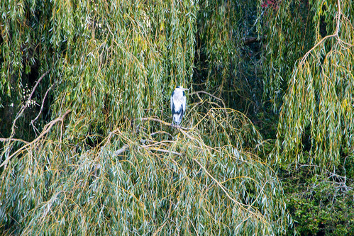 Heron, curtain of willow