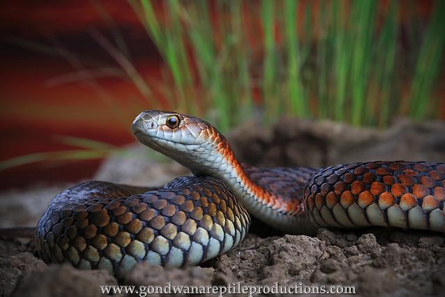 Snake portrait urban