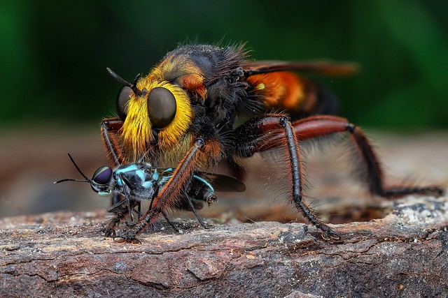 Giant robber fly in Cuc Phuong natinal park Vietnam