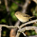 Common Chiffchaff - Photo (c) Brendan Ryan, some rights reserved (CC BY-NC-ND)